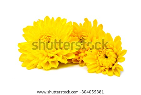 Yellow chrysanthemum and shadow effect on white background. - stock photo