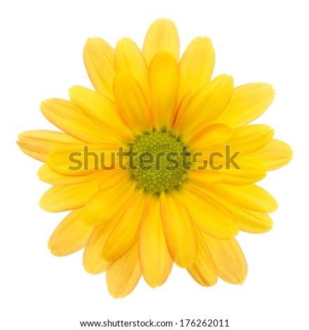 Yellow chrysanthemum. Deep focus. No dust. No pollen. Please watch more flower heads in my portfolio.  - stock photo