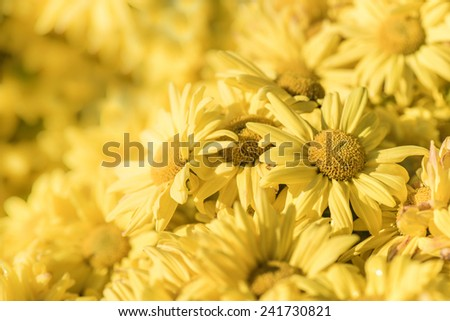 Yellow Chrysanthemum flower - stock photo