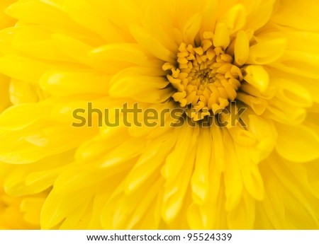 Yellow chrysanthemum flower close up