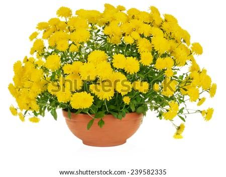 yellow chrysanthemum flowers in pot - stock photo