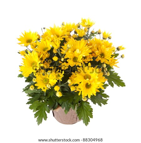 Yellow chrysanthemum in a pot - stock photo