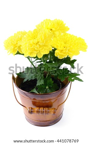 yellow chrysanthemum in bucket potted on isolated white background - stock photo
