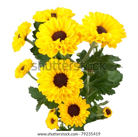 yellow chrysanthemum isolated on a white background - stock photo