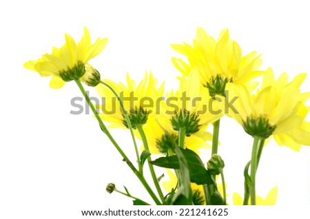 yellow chrysanthemum isolated on white