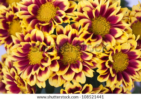 Yellow chrysanthemums closeup