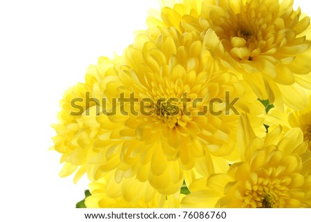 Yellow chrysanthemums isolated on a white background