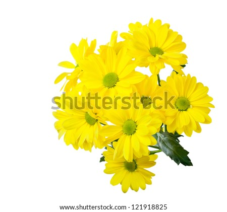 yellow chrysanthemums on white background - stock photo