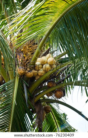 yellow coconuts in bunch hanging in tree