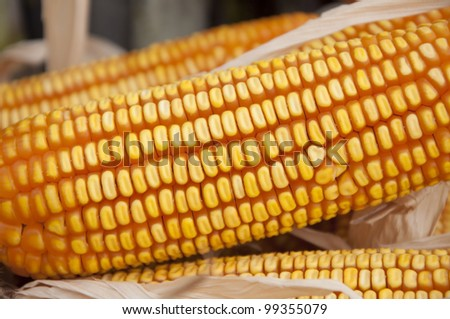 yellow color dry corn