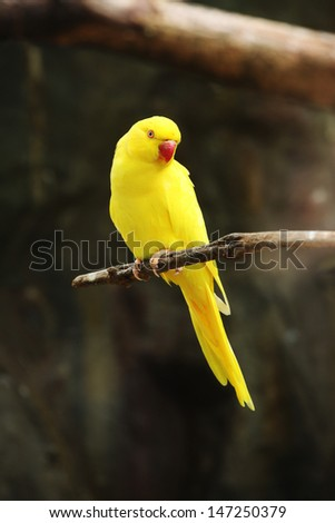 Yellow color of Rose-ringed parakeet (Psittacula krameri, nuri-LUME)  - stock photo