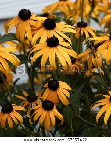 Yellow cone flowers - stock photo