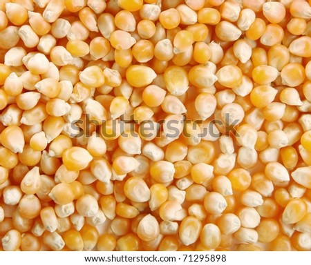 Yellow corn background. Image of food grains - stock photo