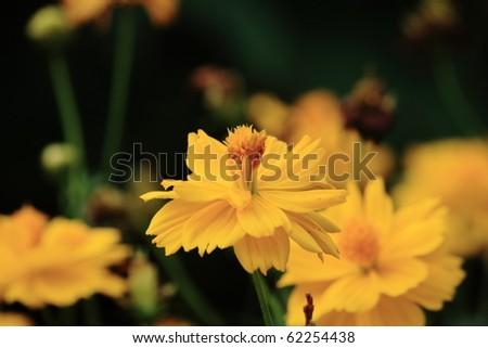 yellow cosmos flower - stock photo