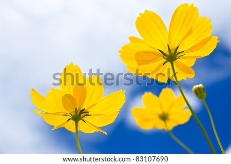 Yellow Cosmos flower and blue sky - stock photo