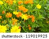 Yellow Cosmos flower in garden - stock photo