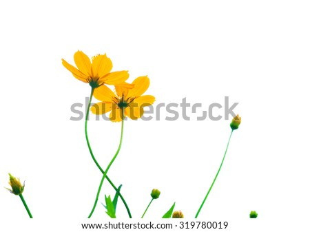 Yellow cosmos flower isolated on white background - stock photo