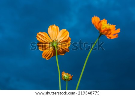 Yellow Cosmos Flower under Cloudy Sky - stock photo