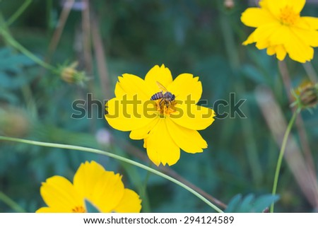 Yellow cosmos flowers and bee - stock photo
