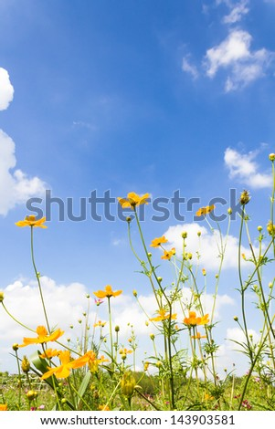 Yellow cosmos flowers and blue sky