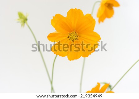 Yellow cosmos isolate on white background
