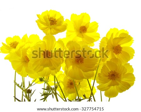 Yellow cosmos on white background