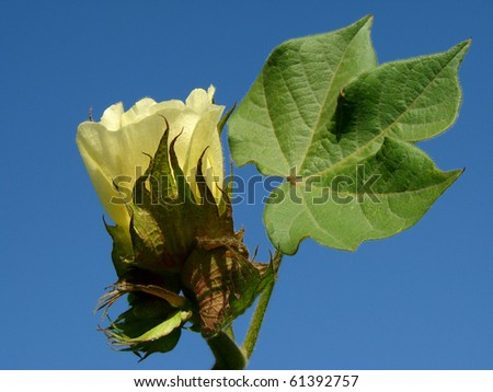 yellow cotton flower with leaf against blue sky - stock photo