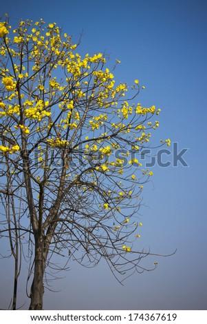 Yellow Cotton Tree blue sky background - stock photo