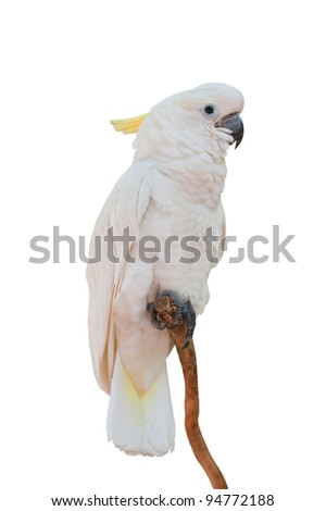Yellow-crested Cockatoo on white with clipping path Cacatua sulphurea) - stock photo