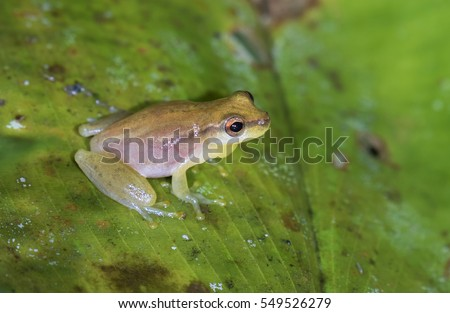 Yellow cricket tree frog (Dendropsophus microcephalus) on a leaf in swampy rainforest, Belize, Central America