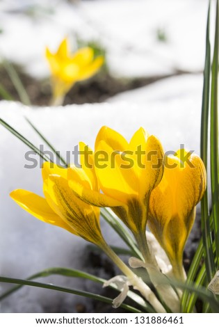 yellow crocus and white snow - stock photo