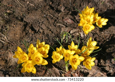 Yellow crocus growing through last year's leaves - stock photo