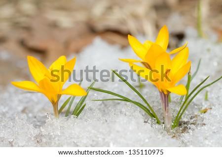 Yellow crocus in the snow - stock photo