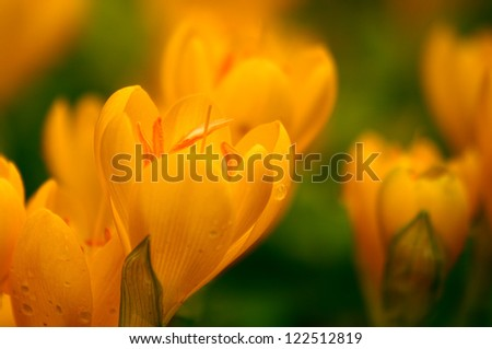 Yellow Crocuses With Rain Drops, Shallow DOF, Soft focus. - stock photo
