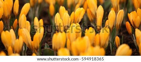 Yellow Crocuses with water drops