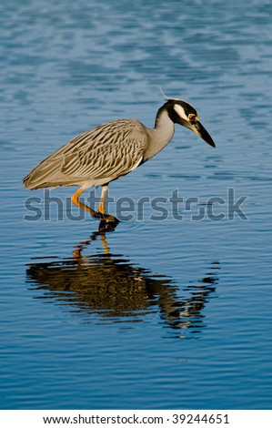 Yellow-crowned Night Heron Fishing - stock photo