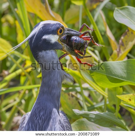 Yellow-crowned Night Heron (Nyctanassa violacea) with a caught crawfish. Brazos Bend State Park, Needville, Texas, USA. - stock photo
