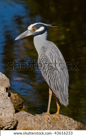 Yellow-crowned Night Heron on the rocks - stock photo