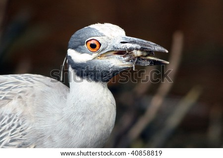 Yellow-crowned Night Heron swallowing catch