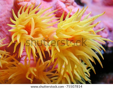 Yellow Cup Coral - stock photo