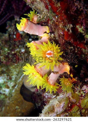 Yellow cup coral on a reef - stock photo