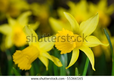 yellow daffodil - stock photo