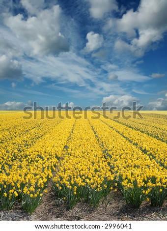 yellow daffodil fields in holland - stock photo