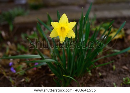Yellow daffodil flower blooming  - stock photo