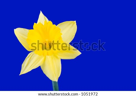 Yellow daffodil flower on a blue background. - stock photo