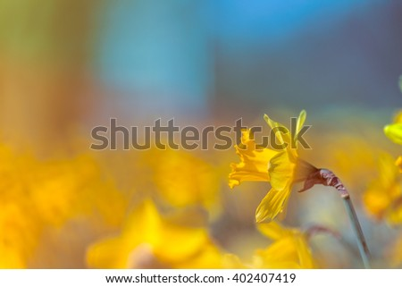 Yellow Daffodil Flower on Colorful Blurry Abstract Background, Shallow Depth of Field - stock photo