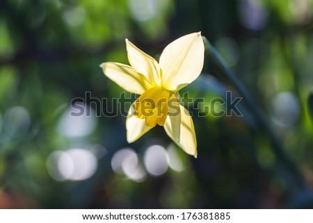 Yellow daffodil in its natural habitat - stock photo