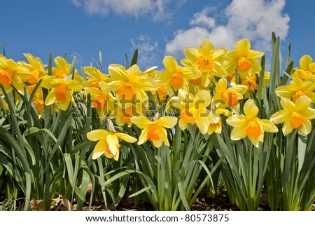 Yellow Daffodil in spring - stock photo