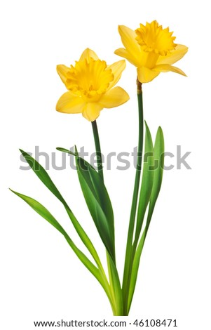 yellow daffodil isolated on a white background - stock photo