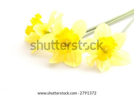 Yellow daffodils - stock photo